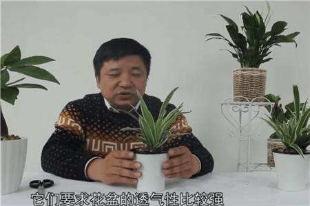 吊兰的花盆和土的选择