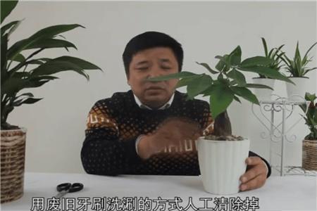 发财树的病虫害