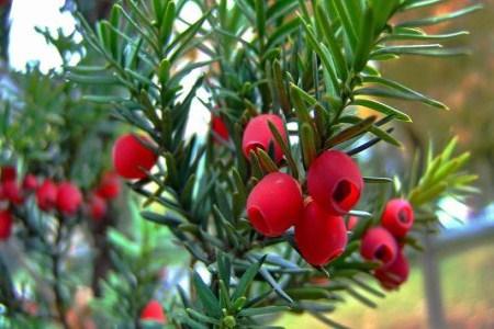 美丽的红豆杉