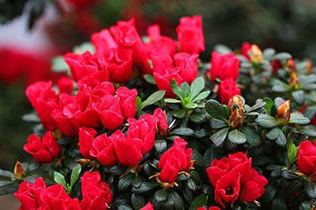 美丽的杜鹃花