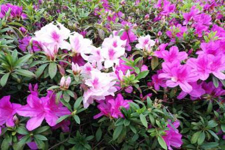 漂亮的杜鹃花