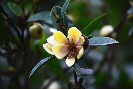美丽的含笑花