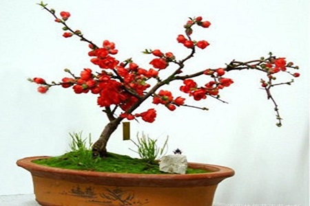 美丽的日本海棠