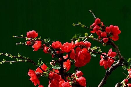 漂亮的日本海棠