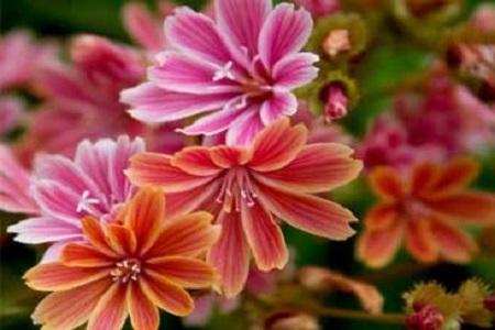 漂亮的露薇花