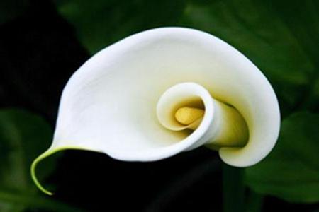 美丽的马蹄莲