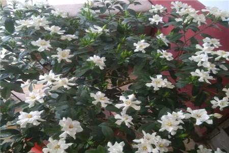 用药养出来的花