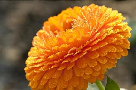 漂亮的万寿菊