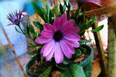 漂亮的蓝目菊