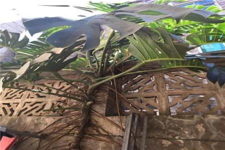 20多年的龟背竹