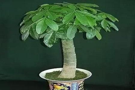 漂亮的发财树