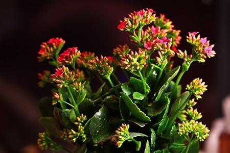 好看的长寿花