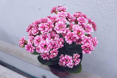 漂亮的长寿花