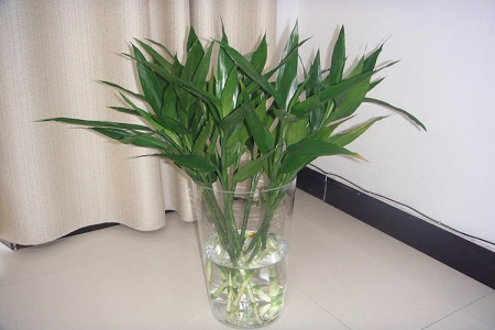 美丽的富贵竹