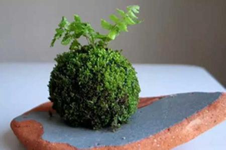 漂亮的苔玉盆景