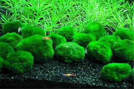 好看的绿球藻