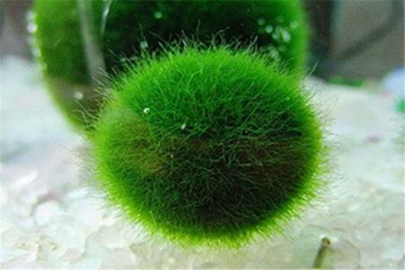 漂亮的绿球藻