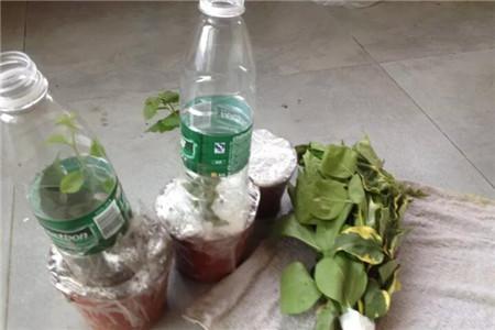 塑料瓶和三角梅