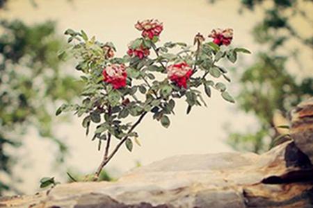 漂亮的月季花