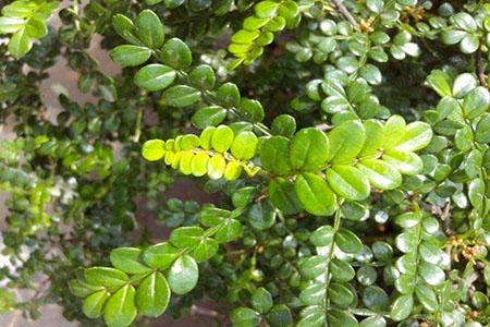 漂亮的胡椒木