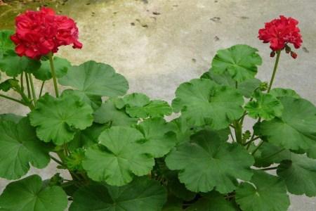 好看的四季海棠