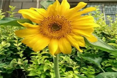 开花了的向日葵