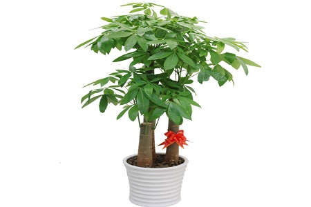 美丽的发财树