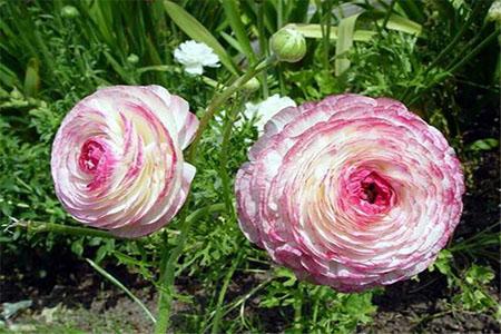 漂亮的花毛茛