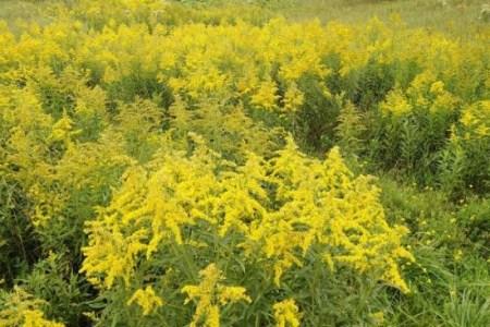 美丽的一枝黄花