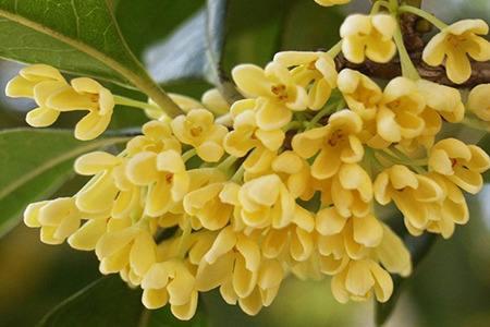 潘多拉桂花