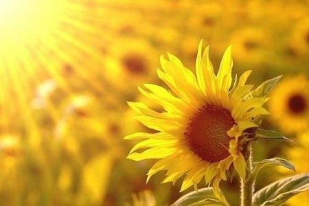 好看的向日葵