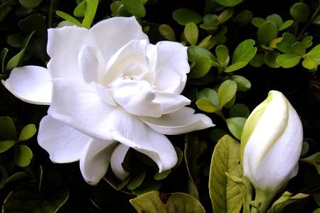 美丽的栀子花