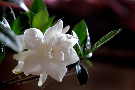 漂亮的栀子花