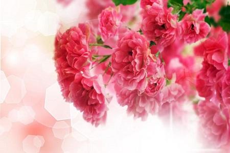 美丽的康乃馨