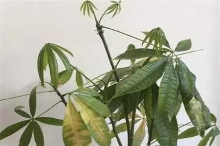 叶斑病严重的发财树