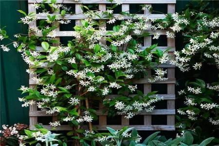 爬藤的好看的花
