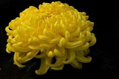 漂亮的菊花