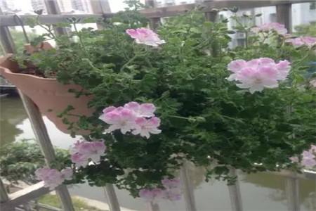吊挂的天竺葵