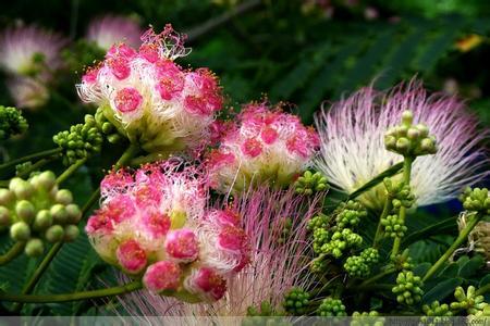 漂亮的合欢花