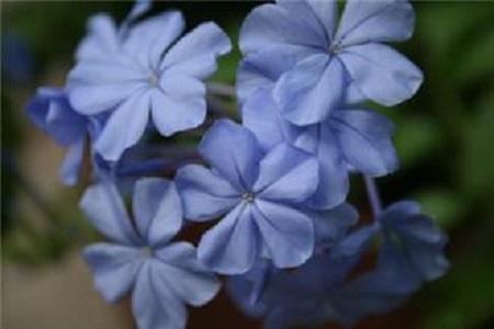 漂亮的蓝雪花