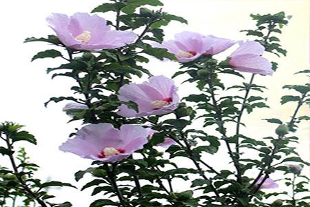美丽的木槿花