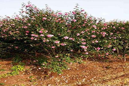 漂亮的木槿花