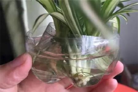 生根的吊兰