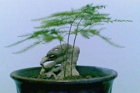 美丽的文竹