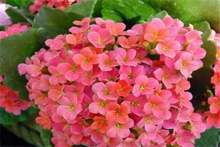 美丽的长寿花