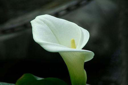 马蹄莲花朵