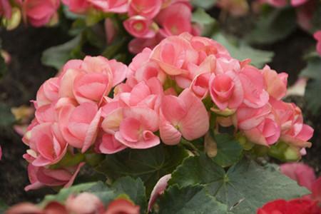 丽格海棠花