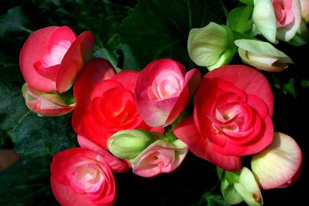 红色丽格海棠花