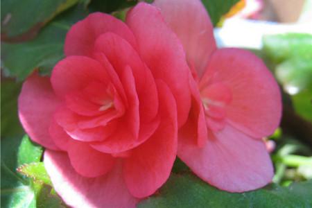 丽格海棠花朵