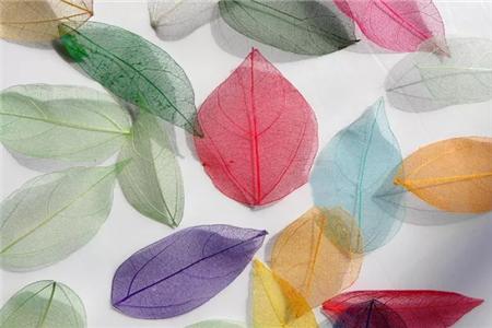 染色后的叶子